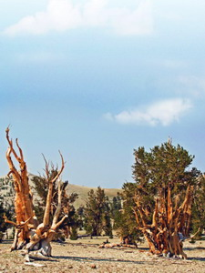 Patriarch Grove of Bristlecone Pines